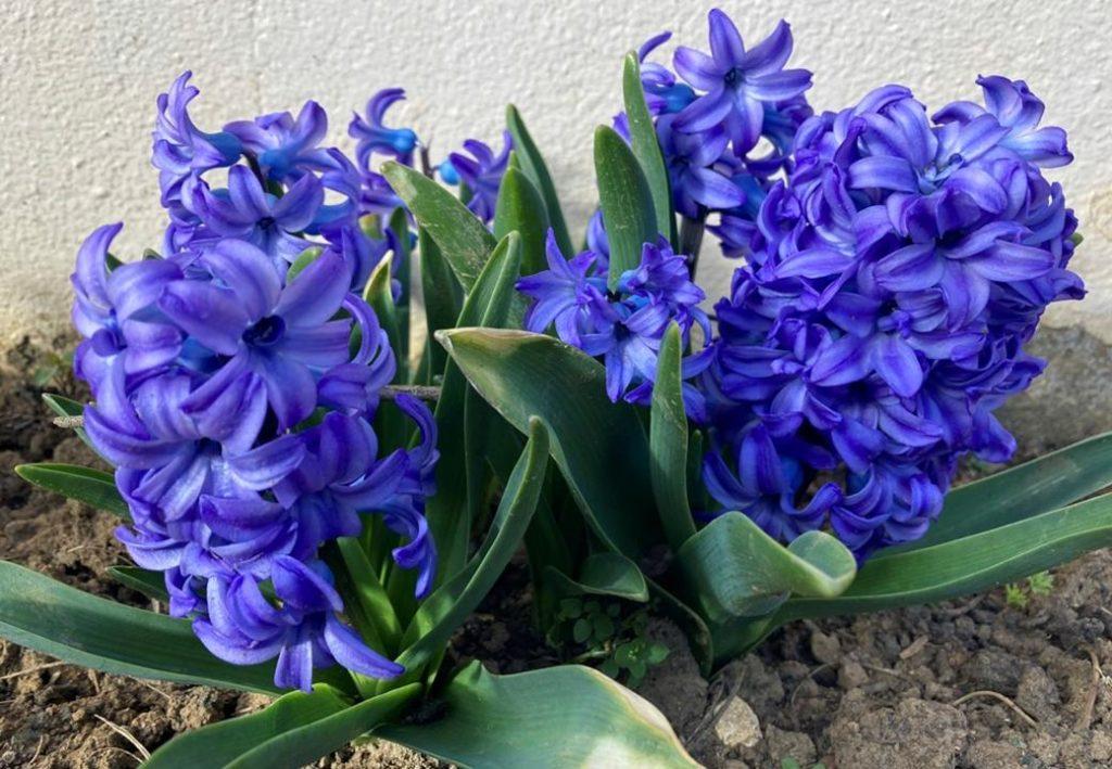 printemps dung2